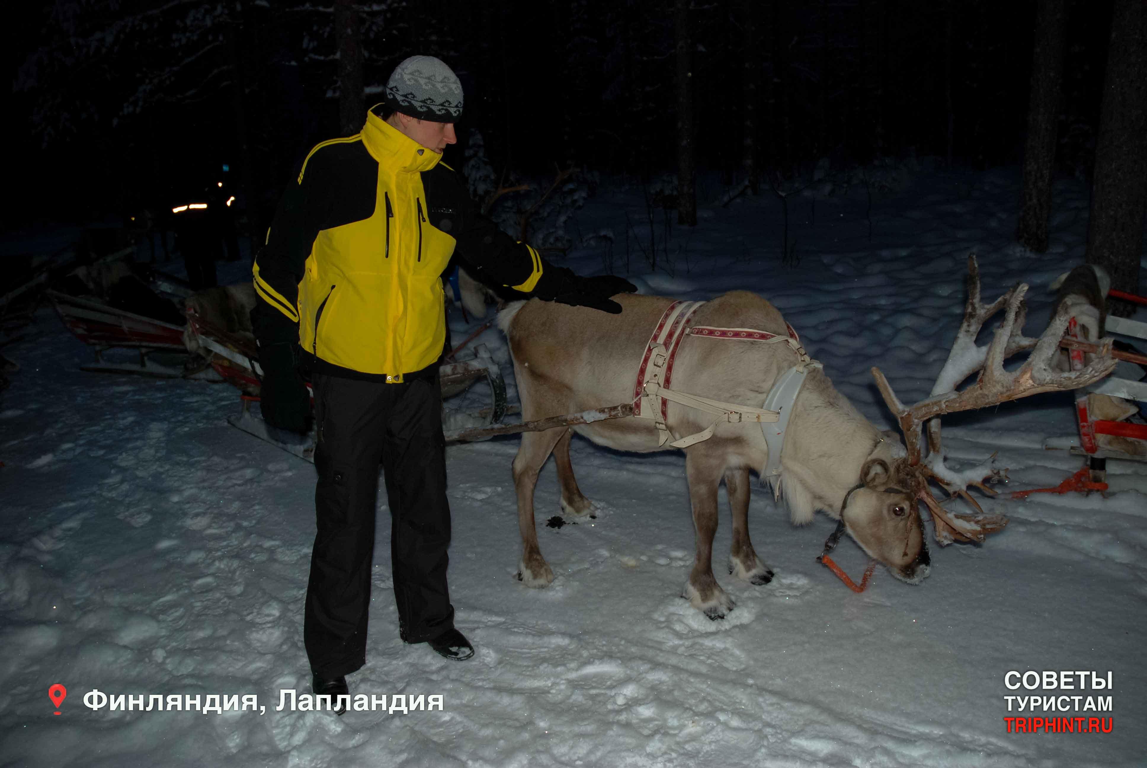 Что посетить в Финляндии на новый год: Лапландия, поездка на оленьих упряжках