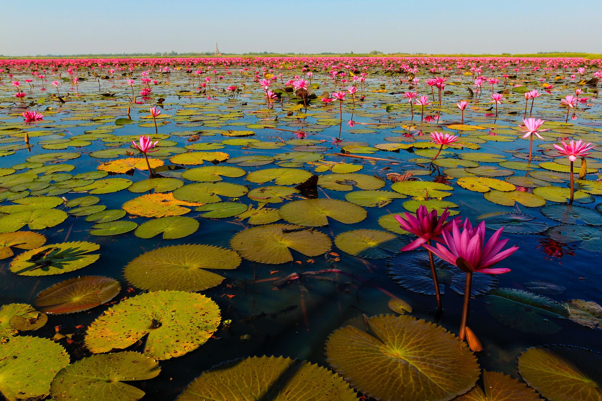 Таиланд, озеро красных лотосов.